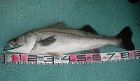 Seabass87cm